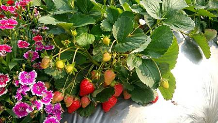 105.3.30 草莓園3.jpg