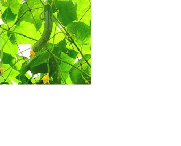 小黃瓜.bmp