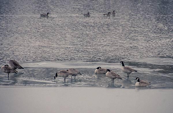 lonestar geese-10