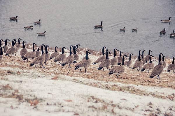 lonestar geese-6