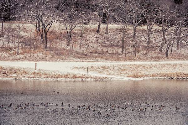 lonestar geese-5