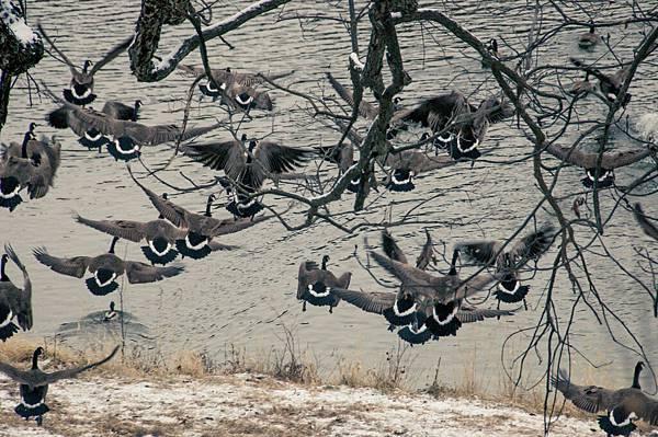lonestar geese-2
