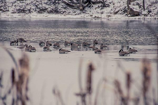 lonestar geese-12