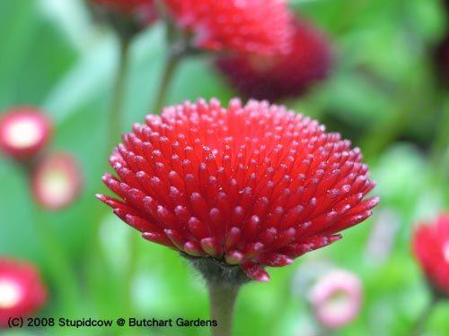 (C) 2008 Stupidcow @ Butchart Gardens