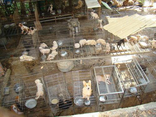 一籠一籠的名犬,繁殖場的賺錢工具.......jpg