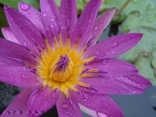 雨 中 花
