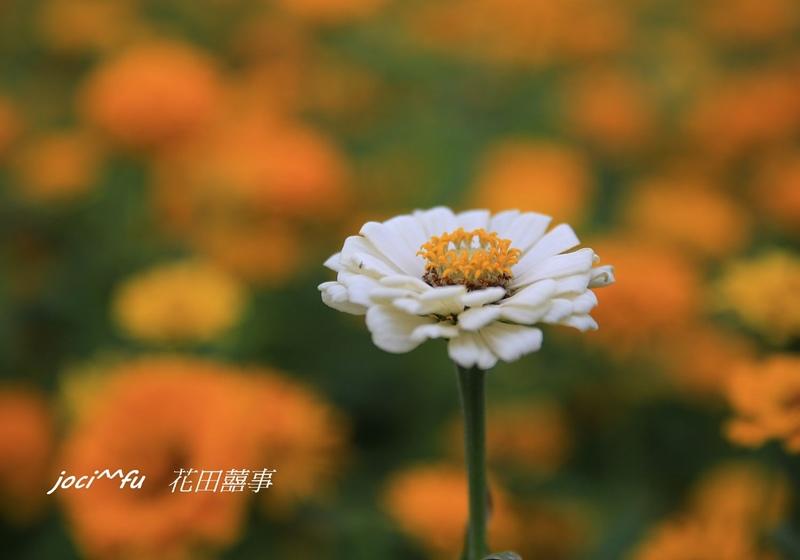 橋頭花海 073.jpg