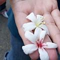 地上拾獲二枚不同色的油桐花耶