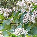 花坊內僅存一棵的油桐花樹