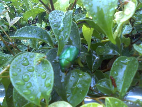 98-06-05 新鮮的金龜子(1).jpg
