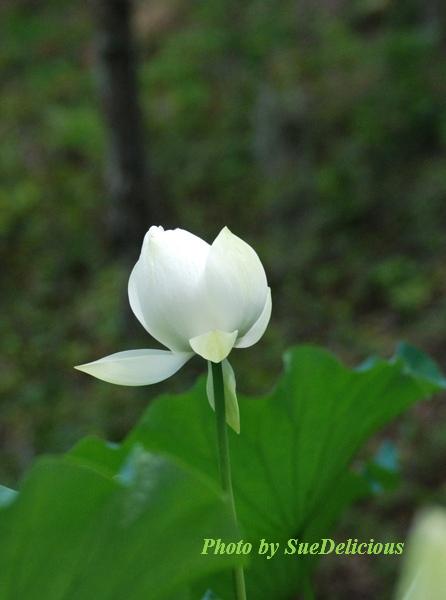 Charleston Lotus-2