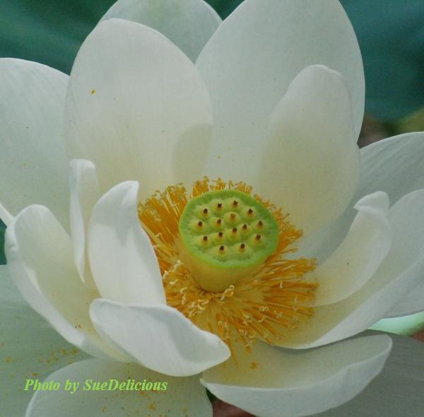 Charleston Lotus-4