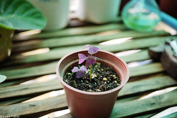 紫葉酢醬草