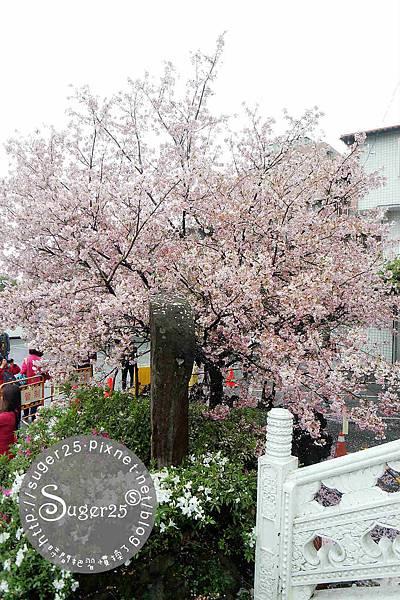 天元宮賞櫻 10.jpg