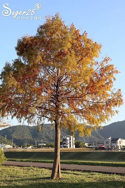 宜蘭季節限定景點落羽松35.jpg