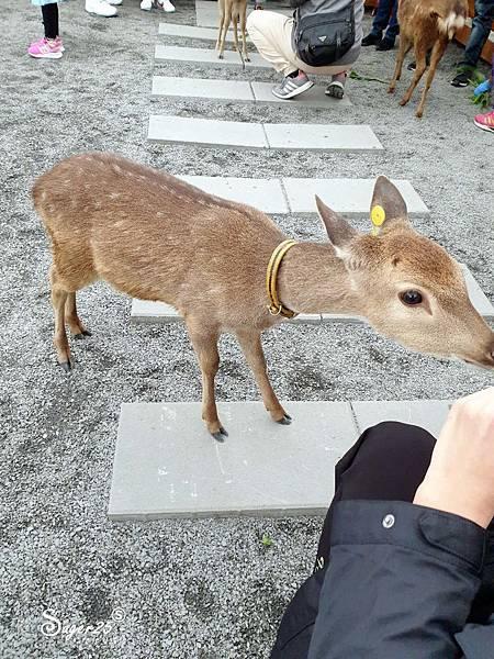 宜蘭餵鹿張美阿嬤農場1.jpg