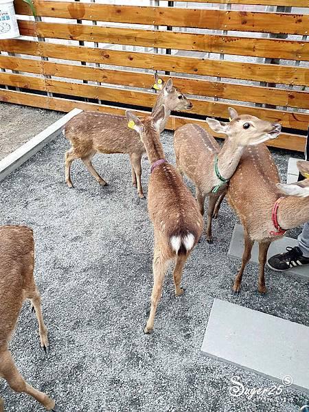 宜蘭餵鹿張美阿嬤農場13.jpg