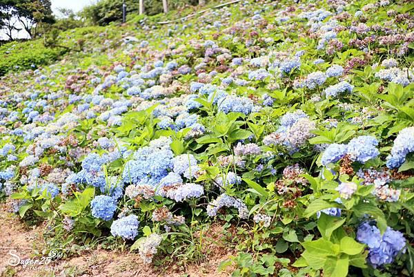 北宜公路縣界公園繡球花海19.jpg