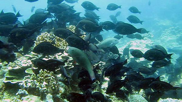 魚_C0010cap_褐斑刺尾鯛集體覓食