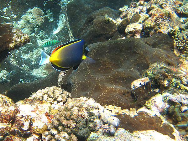 魚_5065_日本刺尾鯛