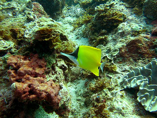 魚_5146_黃鑷口魚.黃長吻蝶魚