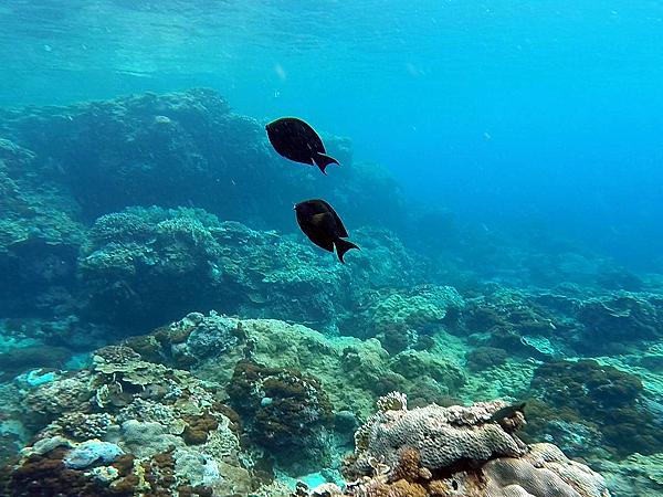 魚_3288cap_褐斑刺尾鯛