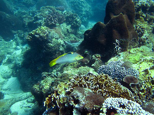 魚_1031_雲斑海豬魚雌魚