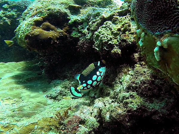 魚_3308cap_花斑擬鱗魨