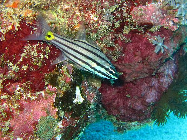 魚_4036_五線巨齒天竺鯛