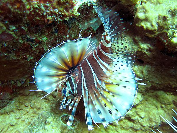 獅子魚_2004_斑馬紋多臂簑鮋