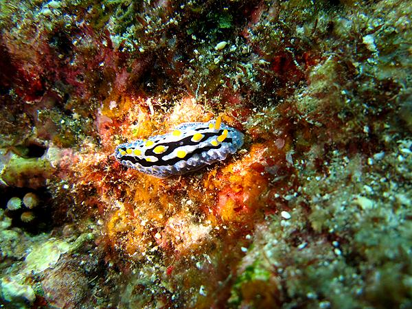 海蛞蝓_5028_優美葉海蛞蝓