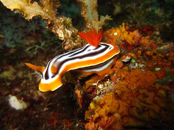 海蛞蝓_5150_華麗多彩海蛞蝓