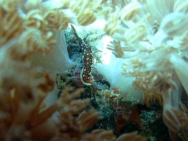 海蛞蝓_4046_鰻游二列腮海蛞蝓_火焰海麒麟