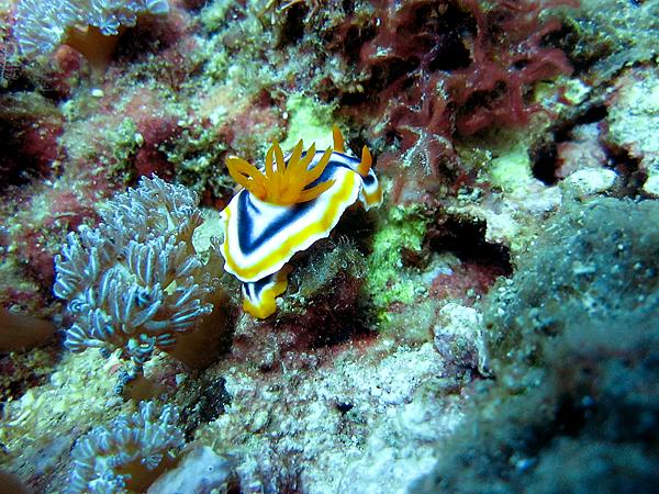 海蛞蝓_2055_華麗多彩海蛞蝓