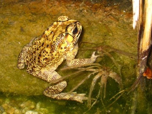 不知道是青蛙還是蟾蜍?!