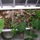 09-武龍的陽台小菜園.JPG