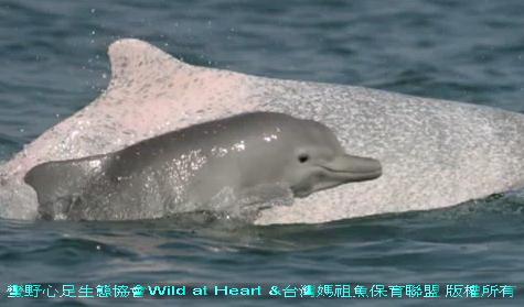 台灣特有beh斷種白海豚1.jpg