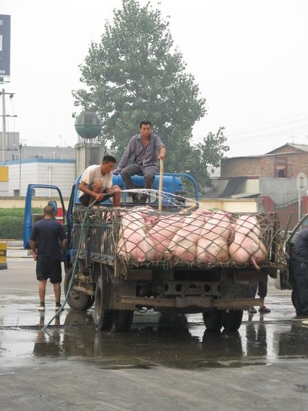 怕豬熱死 幫他們衝水