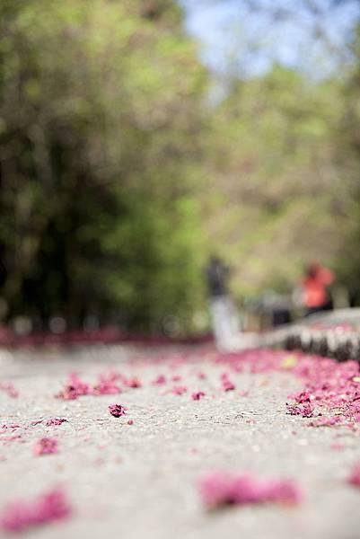 山櫻花都謝光光嚕