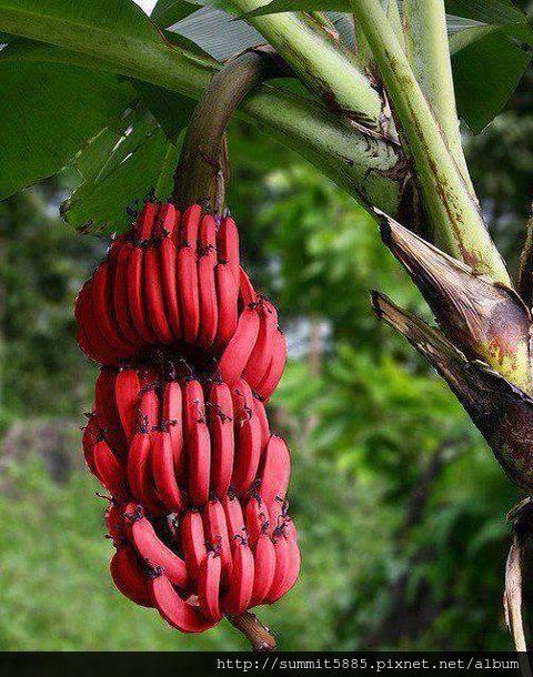4、紅香蕉