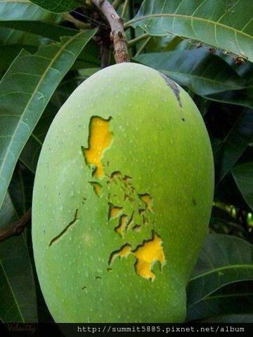 4、菲律賓著名芒果