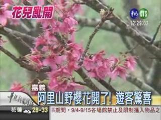 阿里山野櫻花開.jpg