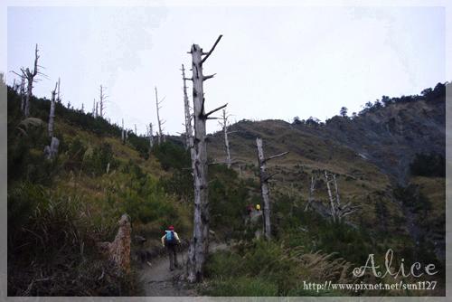 步道上必會經過的白木林