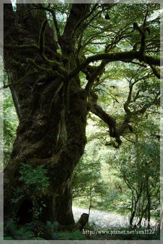 登山口的巨大檜木