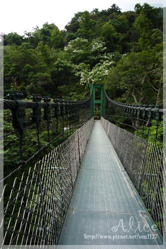 橋頭的油桐開得相當茂密喔~