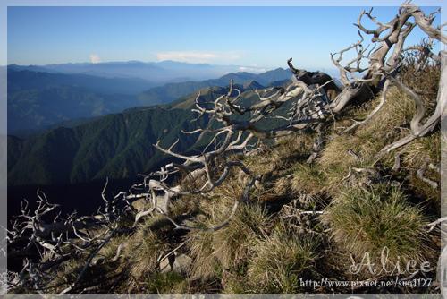 主峰前有名的玉山圓柏