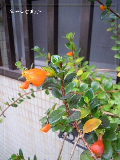 2013050432金魚花.jpg