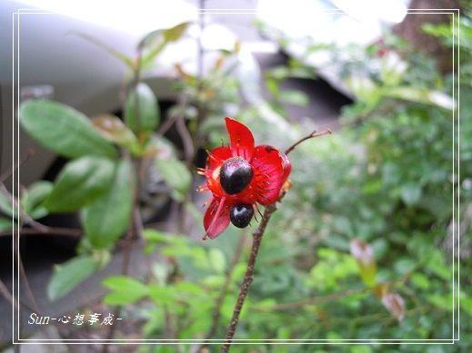 2013050426桂葉黃梅.jpg
