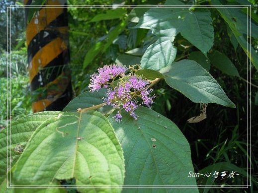 20130505021紫珠