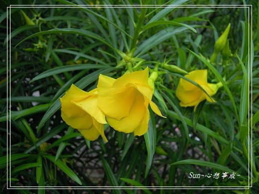 20130505103黃花夾竹桃
